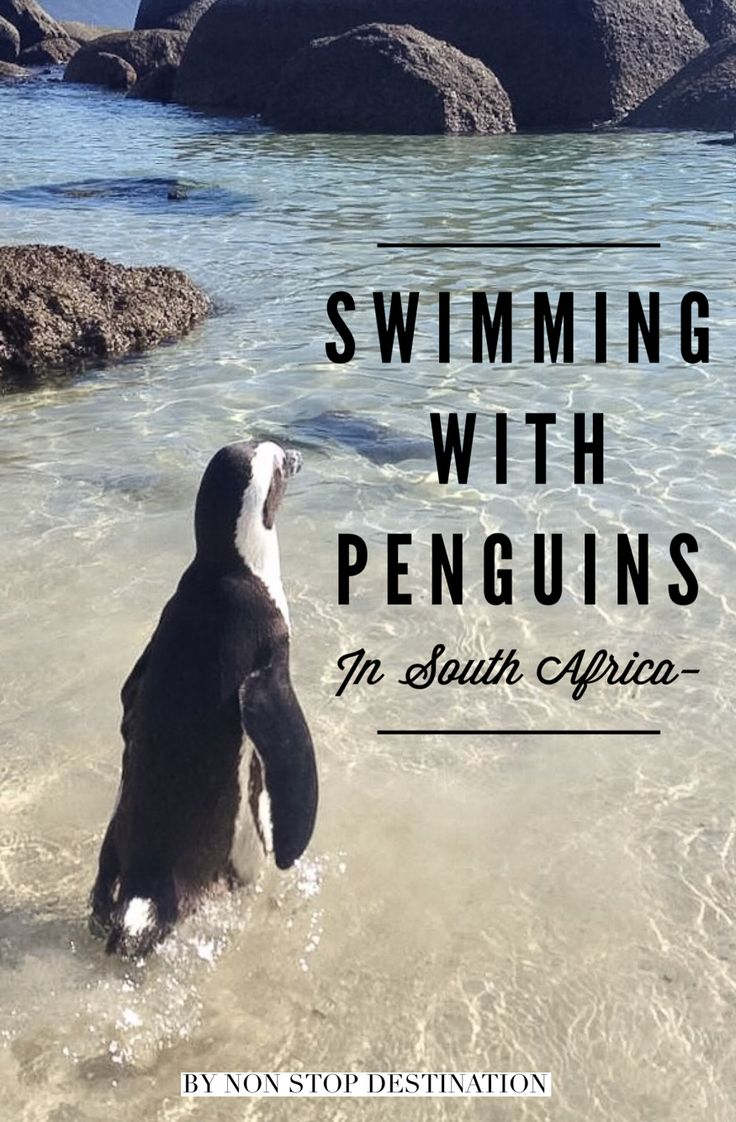 Swimming with penguins experience in south africa non stop destination