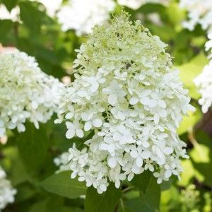 Growing Limelight Hydrangeas | An Update
