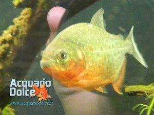 Articoli sui pesci predatori come Piranha, Arowana e altri pesci territoriali di acqua dolce. Articoli e schede su questi pesci predatori.