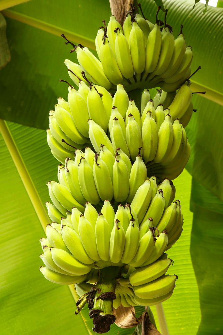 Cavendish bananas may not be the tastiest variety but they grow in huge bunches which makes