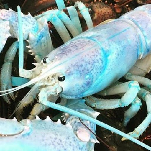 """Robinson Russell has been lobster fishing in Grand Manan, New Brunswick, Canada for 20 years. He's s seen blue lobsters, yellow lobsters and 20-pound lobsters. But never had he seen an almost 'rainbow-coloured' lobster until 3 p.m. last Tuesday, November 21 2017 As he's done for many years, Russell was fishing in the Bay of Fundy with five men on his vessel 'The Guardian'. We were just pulling traps when some guy was like, """"Whoa, look at this"""" he said. We all stopped what we were doing...."""