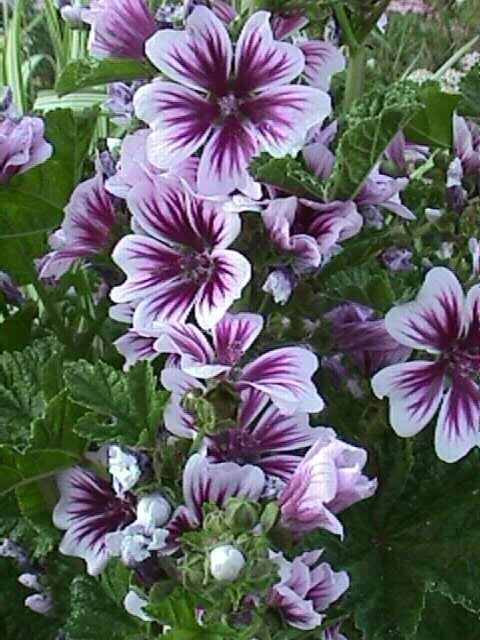 Zebra Mallow - (Malva sylvestris) cousins to hollyhocks are short-lived perennials that bloom all summer long and self seed. Zones 4-8