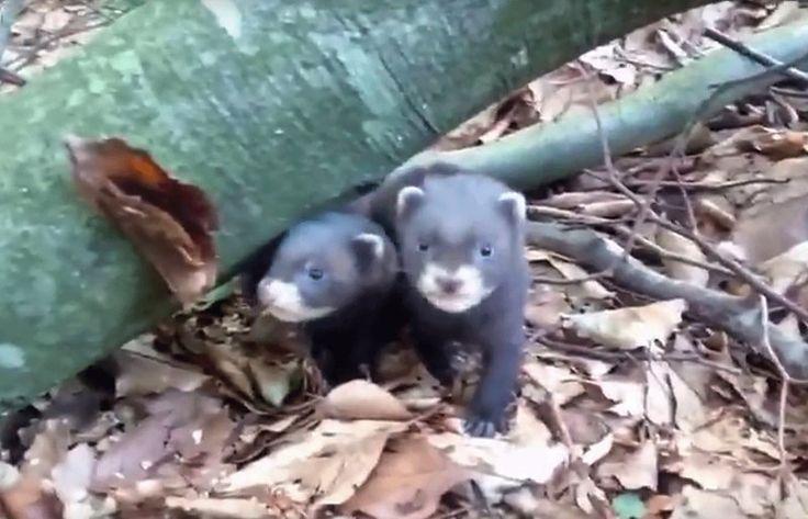 Miłośnicy zwierząt, na kanale RDLP w Olsztynie, mogą obejrzeć film z małymi tchórzami w roli głównej.