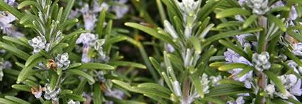 Rosemary: Idea, Rosemary Essential, Blue Flowers, Growing Rosemary, Essential Oils, Herbs Gardens, Rosemary Plants, Medicine, Attraction Herbs