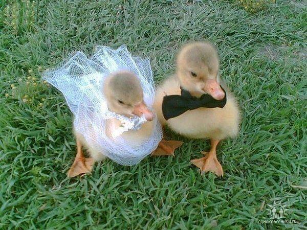 Newlyweds.: Bride Grooms, Baby Ducks, So Cute, Get Married, My Weddings, The Bride, Ever After, Just Married, Animal