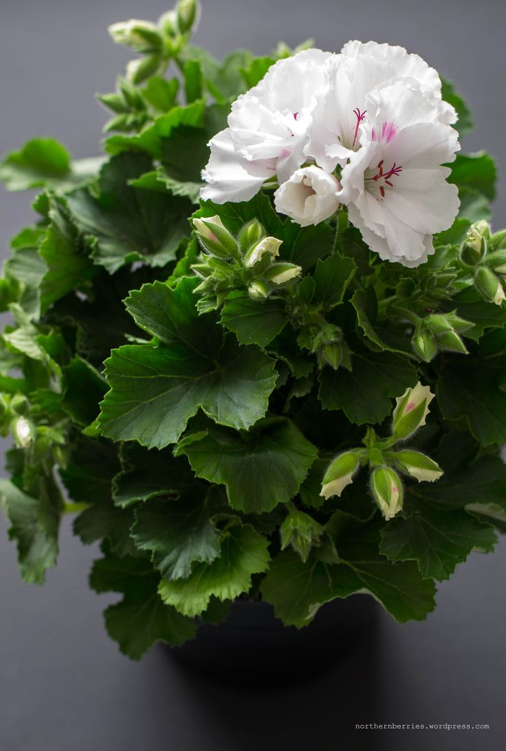 GERANIUMS CARE - french geranium - care tips