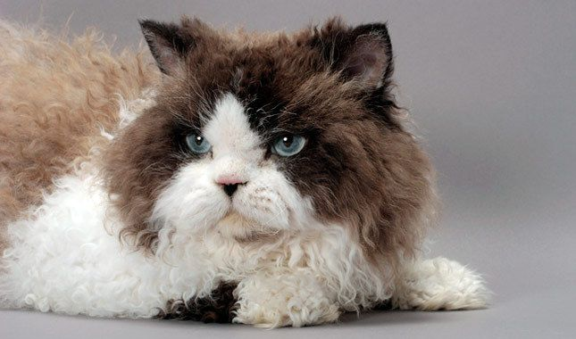 The gentle and sociable Selkirk Rex makes a great travel companion or therapy cat for adults and children alike.