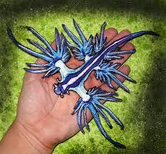 """Résultat de recherche d'images pour """"glaucus atlanticus sea slug"""""""