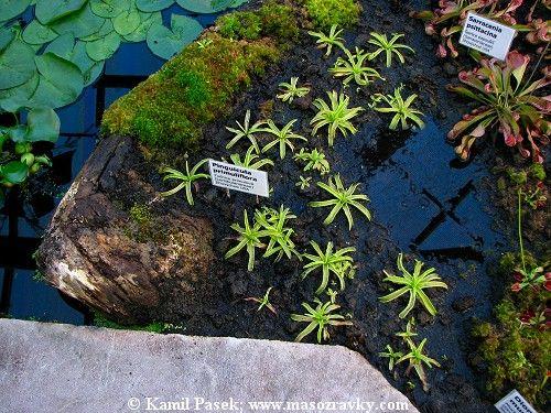Blog | Masožravé rostliny neboli masožravky – zelení dravci v rostlinné říši............ http://www.masozravky.com/blog.php?id=26