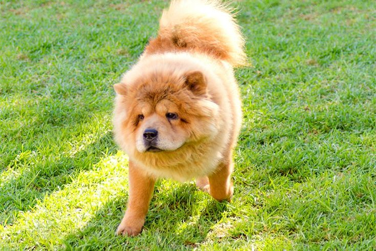 chinese dog breeds   Chinese Dog Breeds   Cuteness.com