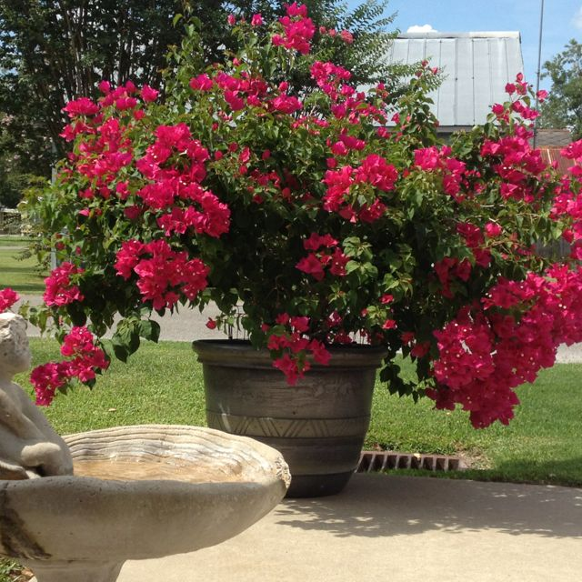 Potted bougainvillea my very own outdoor pots for Plants for outdoor garden