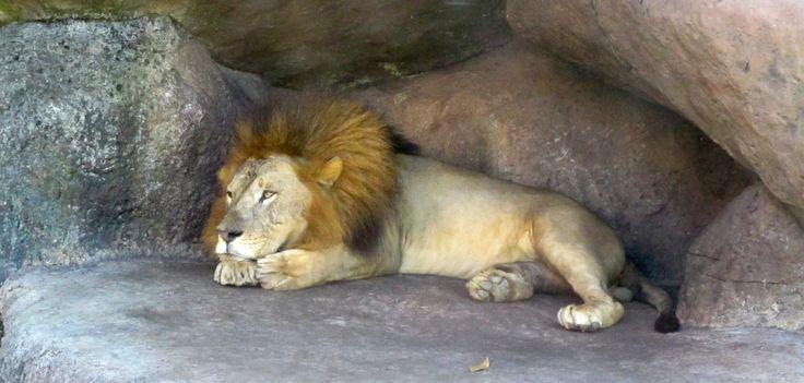 Lion à Bali Safari and Marine Park