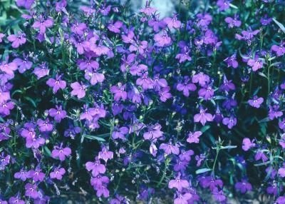 Is Lobelia a Full Sun Plant? thumbnail