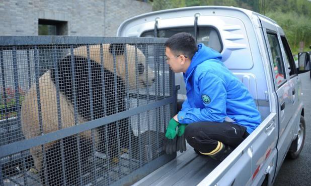 El panda Bao Bao a punto de llegar a su nuevo hogar en el Centro de Pandas Gigantes de Dujiangyan, Chengdu, China (VCG, 2017)