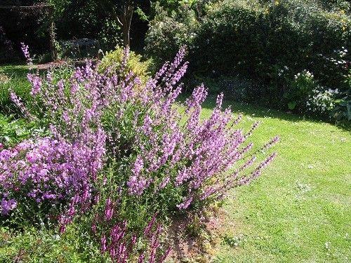 Salvia officinalis x recognita 'Southern Belle'