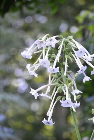krukkeplanter som klarer sig i skyggen. Blandt andet tobaksplante, Nicotiana sylvestris, og hvid høstanemone.