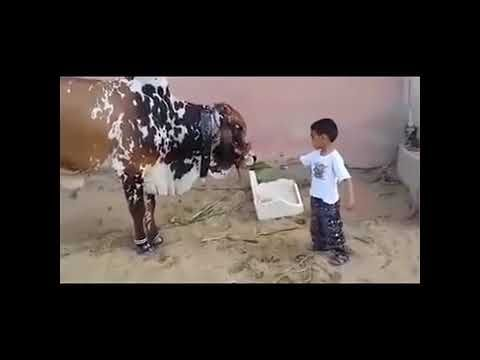 The Most Funny Cow Videos
