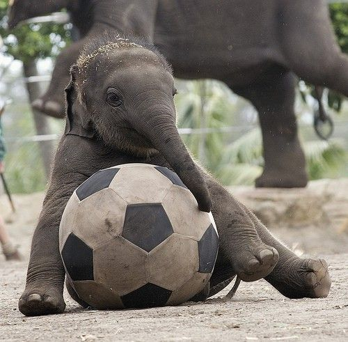 Baby elephant playing with soccer ball.  Other Soccer scratchings at: www.zazzle.com/SoccerMomCity?rf=238479042766184488 and http://www.cafepress.com/SoccerMomCity?aid=78178956