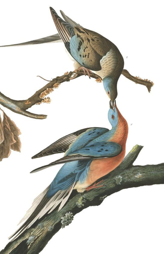Passenger Pigeon | John James Audubon's Birds of America