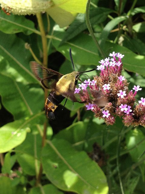 Snowberry Clearwing Moth (Hemaris Diffinis) In The Smithsonian Butterfly  Habitat Garden | By Flickr