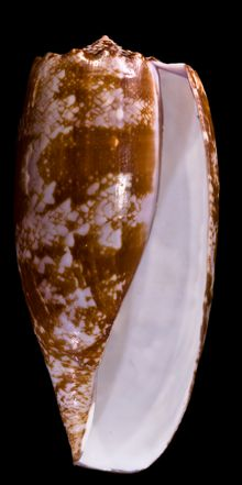 Apertural view of a shell of Gastridium geographus (Linnaeus, 1758)
