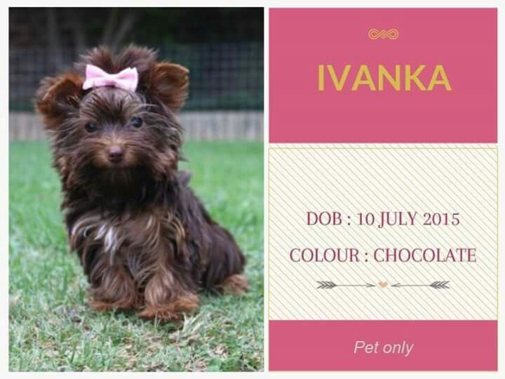 Chocolate Yorkshire Terrier Females