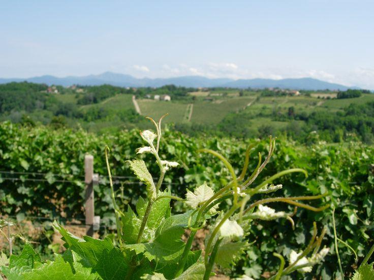 dalle colline vitate del Monferrato, nelle belle giornate, si scorge l'arco alpino
