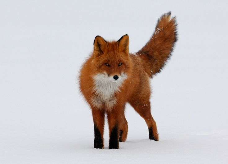 How fast can a red fox run?