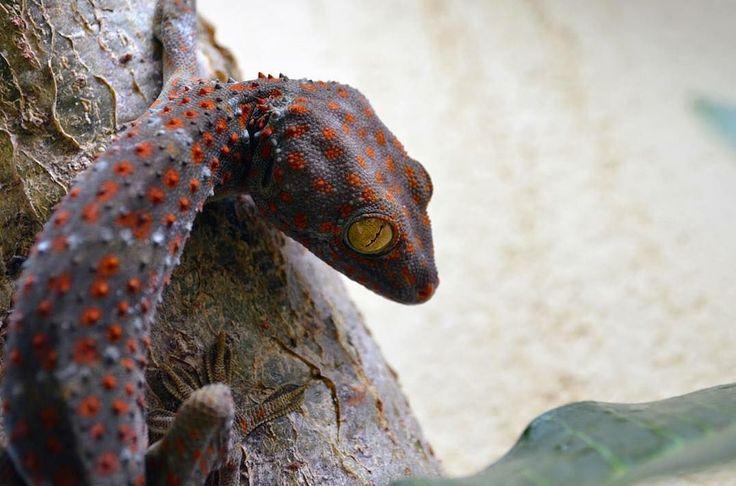 📷 @mazjackibben 'The Tokay Gecko is named after the call that it makes #tokaygecko #gekkogecko #indonesia #reptilesofinstagram #nature #wildlifephotography #nikkon #d5100'  #lombokfriendly #gilibible #worldplaces #mylombok#aroundtheworld #giliguide#instapic #wonderfullombok #thegiliway #exploreindonesia #lombokexperience #explorelombok #travelindonesia#naturephotography#visitindonesia #travelphotography #wonderfulindonesia #travelpic #instaphoto #travelphoto #passion #beautifulindonesia