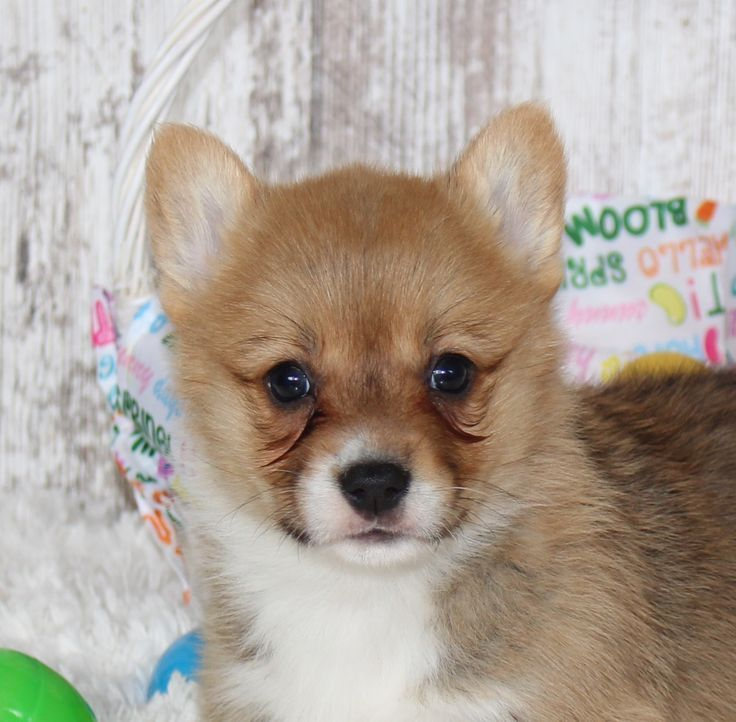 Cade male pembroke welsh puppy for sale in indiana