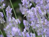 Lavender Benefits: sedative, calming, insomnia, muscle relaxant, inflammation, powerful tonic for the entire system, acne, burns, sunburn, eases depression, hiccups, skin conditions, asthma, bronchitis, headaches (blend with peppermint)