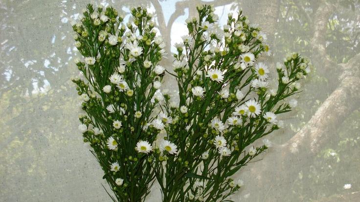 (2G)aster white