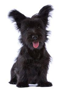 Skye Terrier. Info: http://en.wikipedia.org/wiki/Skye_Terrier http://fi.wikipedia.org/wiki/Skyenterrieri http://www.koirat.com/rodut/skyenterrieri