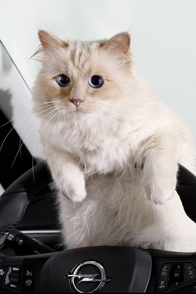 Choupette, Karl Lagerfeld's pet cat, appears in a calendar for carmaker Opel [Photo by Karl Lagerfeld]