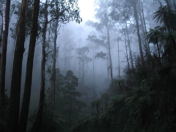 Yarra Ranges forest in mist, en-route from Cathedral Range State Park, Victoria, Australia