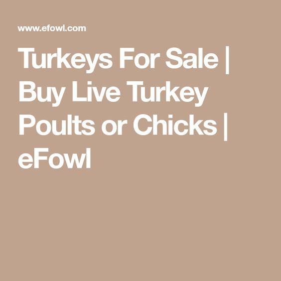 Turkeys For Sale   Buy Live Turkey Poults or Chicks   eFowl