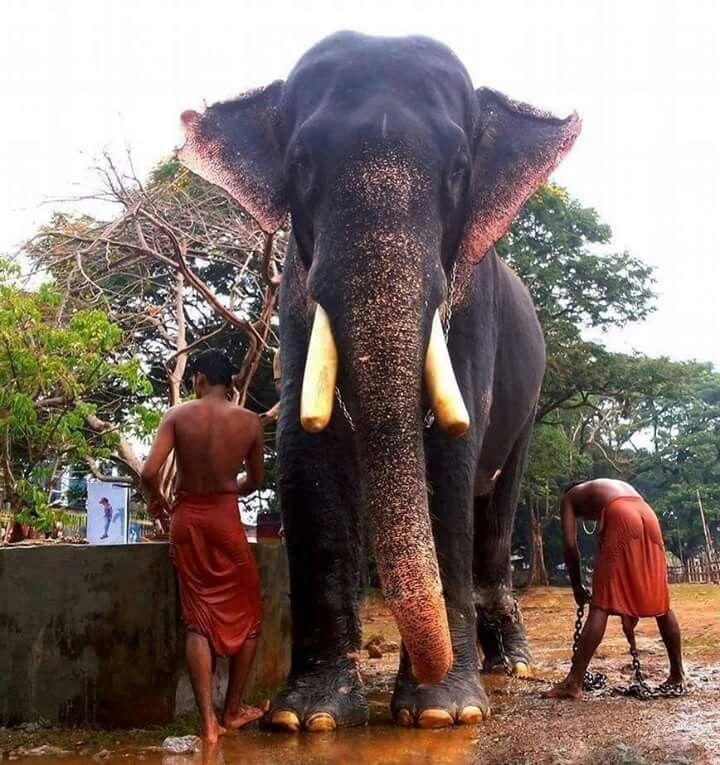 Chemboothra Devidasan | GAJARAJAN | Elephant, Animals, Kerala