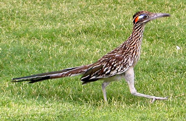 A Greater Roadrunner at the Death Valley National Park Visitor Center in California.