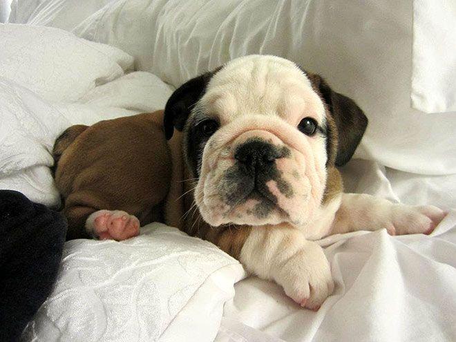 awwwBulldogs Puppies, Baby English Bulldogs, Bulldogs Rocks, Boxers Puppies, Shar Pei Puppies, Face Shar, Baby Face, Baby Bulldogs, Bulldogs English