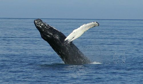 Humpback Whale Jumping Cape May NJ