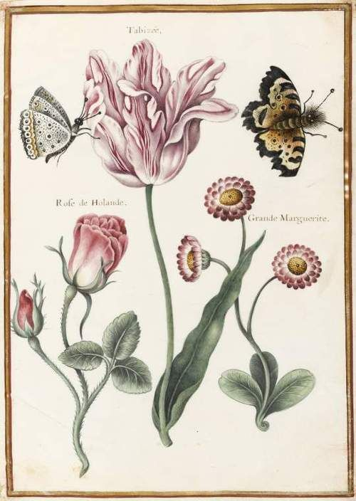 Nicolas Robert (1614-1685)  A 'broken' Tulip (Tabizée), Rose of Holland and large daisy and two unidentified butterflies  Graphite, Indian ink, watercolour and bodycolour on vellum