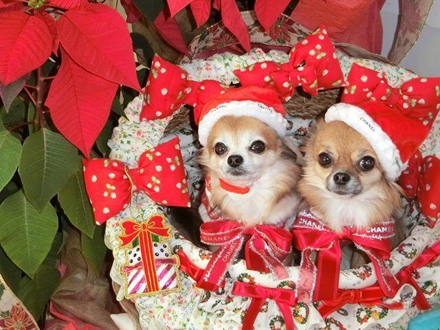 ❤️メリークリスマスわん❤️ #かわいい#可愛い#わんこ #犬#空ちゃん#うさちゃん #空ちゃんうさちゃん #チワワ#愛犬 #犬ファッション#犬服#mydogiscutest #ilovemychihuahua #chihuahualife #ilovechihuahua #lifewithdogs #chihuahualovers #chihuahuaaddict #cutestdogever #chihuahuaoftheday #chihuahualove #ilovemydogs #chihuahuafanatics #dogs_of_world #chihuahuasofinstagram