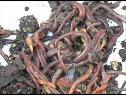How to start your own worm farm! Great for gardening and compost!