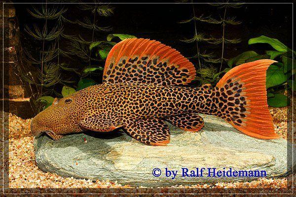 Best 25 plecostomus ideas on pinterest freshwater fish for Live freshwater fish for sale online