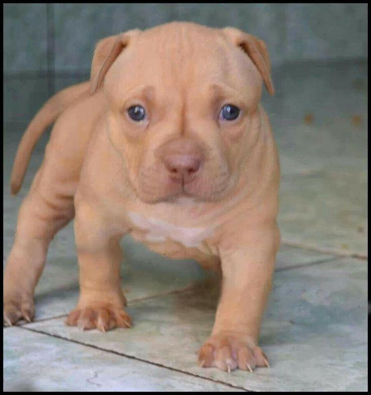 Pitt bull puppy