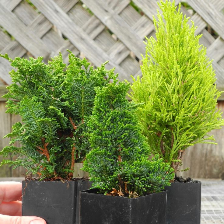 Miniature Garden TINY Tree Set of 3 for Fairy Gardens, Pre Bonsai, Railroad Gardens, Outdoor Plants, Set of 3, Hinokis and Lemon Cypress by Janit on Etsy