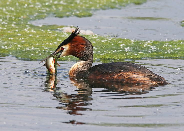 Nigel B2010 posted a photo:  This Grebe had two goes at getting this fish down, first time he came up with to much weed around it and couldn't swallow it, so down he goes again and this time comes up with much less weed and the fish then goes down in one swallow.