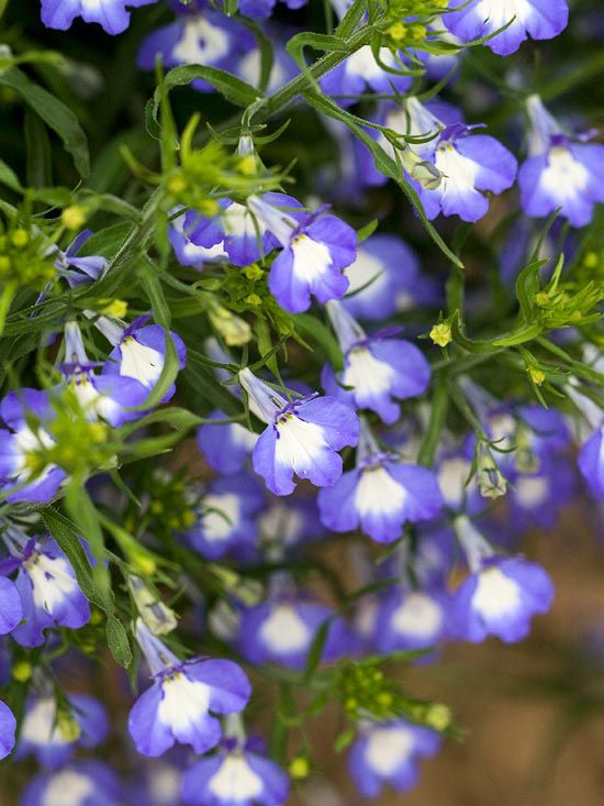 Add lobelias to bring rich, true blues in the garden. These trailing plants flower prolifically in spring and fall, almost covering themselves in flowers! http://www.bhg.com/gardening/flowers/annuals/top-shade-loving-annuals/?socsrc=bhgpin042515lobelia&page=3