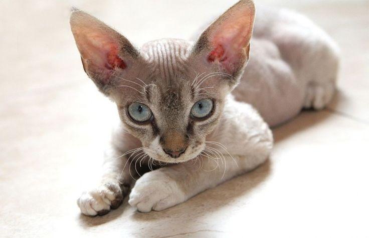 Razze di gatti rare e strane (Foto 7/40) | Ecoo