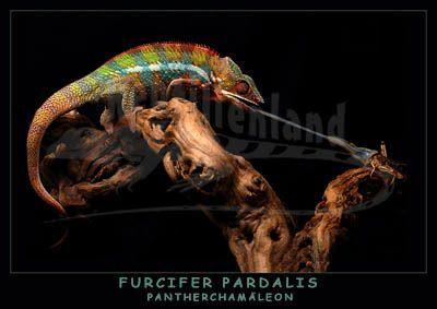 Buntes Pantherchamäleon Furcifer pardalis - gefunden auf reptilienland.com